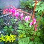 Bleeding heart (Dicentra spectabilis (Bleeding heart))