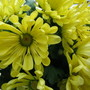Chrysanthemum (Chrysanthemum)