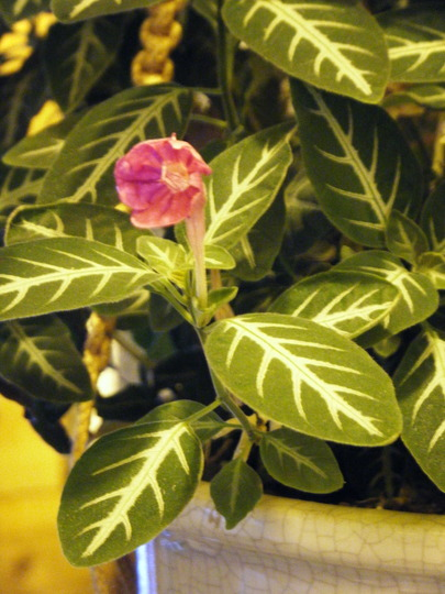 Little ruellia (Ruellia makoyana)