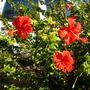 Hibiscus schizopetalus - Coral Hibiscus (Hibiscus schizopetalus - Coral Hibiscus)