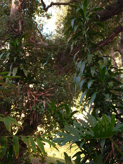 Dracaena deremensis 'Janet Craig' (Dracaena deremensis 'Janet Craig')