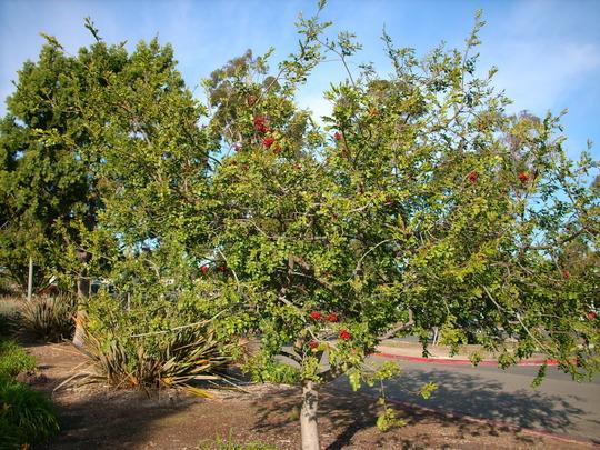 Schotia brachypetala - Parrot Tree (Schotia brachypetala - Parrot Tree)