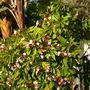 Plumeria rubra - Pink Plumeria (Plumeria rubra - Pink Plumeria)