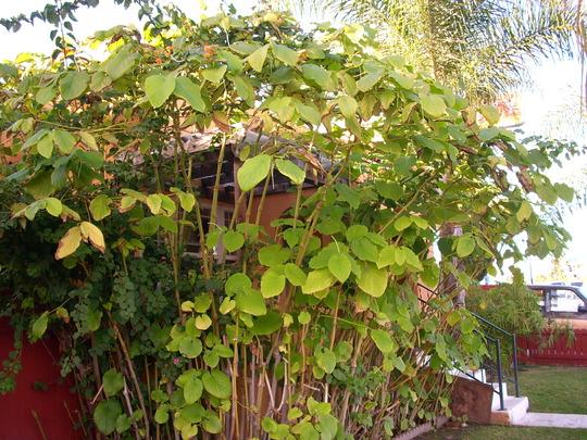 Piper methysticum - Kava or Kava Kava (Piper methysticum - Kava or Kava Kava)