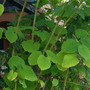 Piper methysticum - Kava or Kava Kava (Piper methysticum - Kava or Kava Kava)
