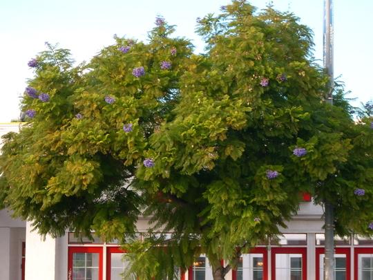 Jacaranda mimosifolia - Jacaranda in bloom (Jacaranda mimosifolia - Jacaranda in bloom)