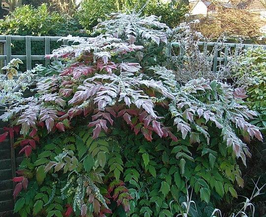 Mahonia japonica 3 (Mahonia japonica)