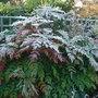 Mahonia_japonica_3
