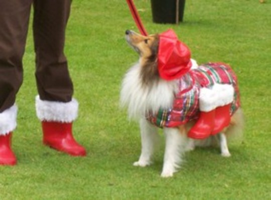 Conker my Shetland Sheepdog, ready for the GoY Winter Wellie Olympics