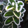 Euonymus  japonicus frosted