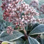 Skimmia_frosted