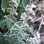 Hedera erecta frosted.