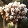 Verbena bonariensis seedhead