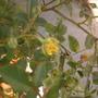yellow rose - bud