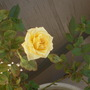 yellow rose - fully opened  (Rosa)