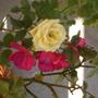 yellow rose- beginning to fade, with geranium