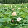 Lotus_1_