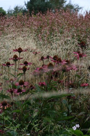 Echinacea and Deschampsia.jpg