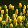 Yellow Tulips (Tulipa acuminata (Tulip))