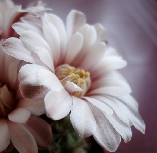 "Gymnocalcium ""Giant Chin Flower:JAY LENO CACTII"" (Gymnocalcium)"