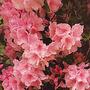 Azalea (Rhododendron ponticum (Azalia))