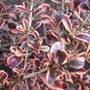 Coprosma_rainbow_surprise_leaves