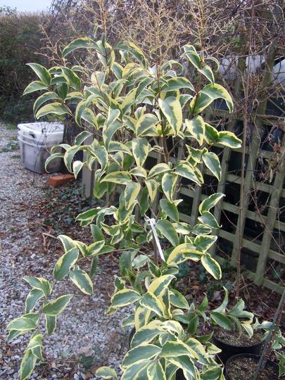 Ligustrum lucidum 'Tricolour' (Ligustrum lucidum (Chinese Privet))