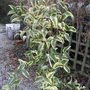 Ligustrum lucidum