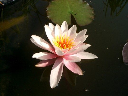 Water lily 2006 (Nymphaea alba (Nenufar Blanco))