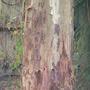 Eucalyptus_trunk