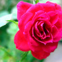 roses (Clusia rosea)