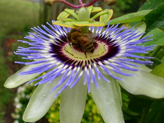 Maypops (Passiflora incarnata (Maypops))