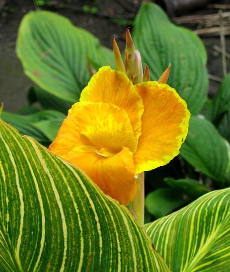 A garden flower photo (Canna indica var. Tropicanna Gold)