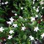 Jasminum sambac (Sampaquita)