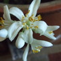 Blossom of lemon shrub/tree