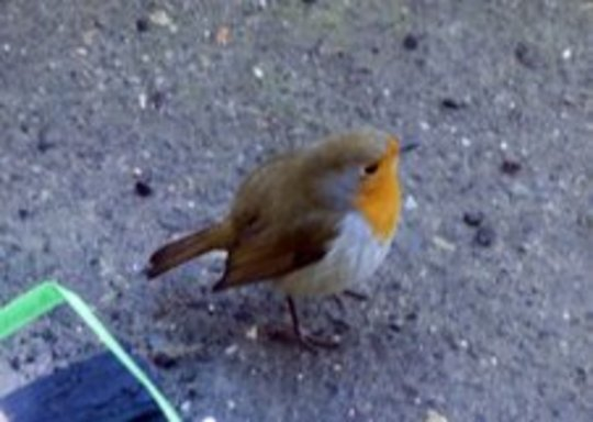 Benny the robin