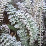 Achillea_leaves