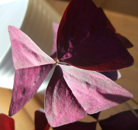 Oxalis triangularis leaf.