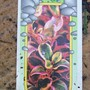 Coprosma repens (Mirror Plant)
