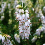 Erica x darleyensis 'White Perfection'