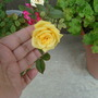 Holding the bloom so I could take a picture -it's very windy out.