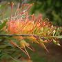 Grevillea Ned Kelly (Grevillea Ned Kelly)