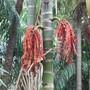 Ptychospermum