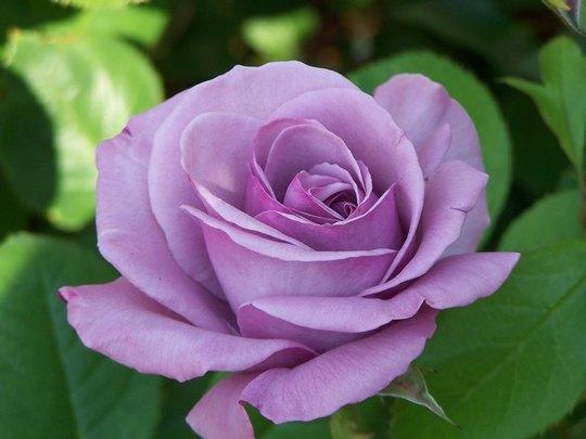 Lavander Rose (Cotoneaster roseus)