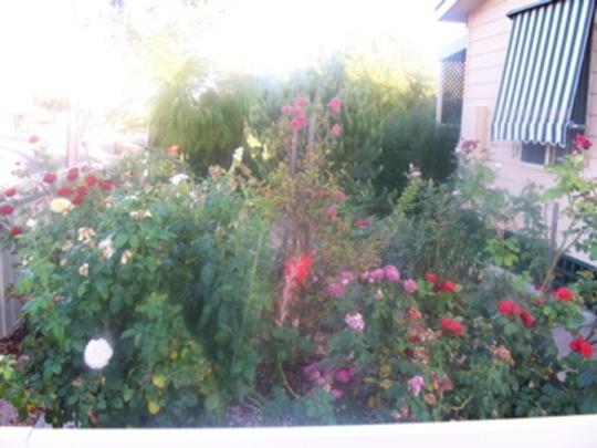 Nanna's roses at Wallaroo