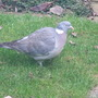 Lonely_pigeon