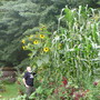 Giant Jala Maize & Self-Sown Sunflower (Zea mays (Sweetcorn))