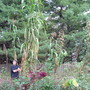 20 feet tall Olotillo Maize (Zea mays (Sweetcorn))