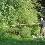 18 feet tall & 16 feet wide Amaranthus cannabinus - tidal marsh amaranth (Amaranthus cannabinus)