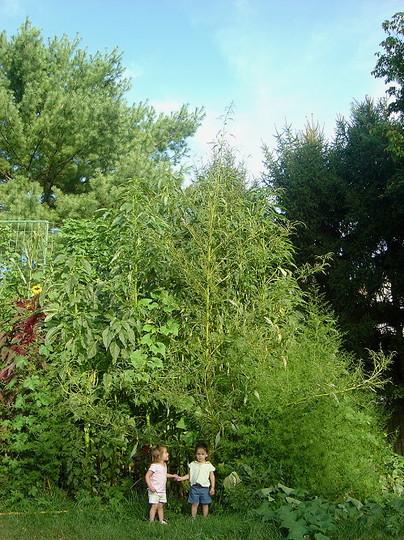 twin daughters standing under a 18 feet tall Amaranthus cannabinus plant (Amaranthus cannabinus)